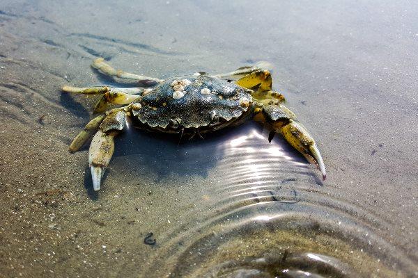 Krabbe im Watt