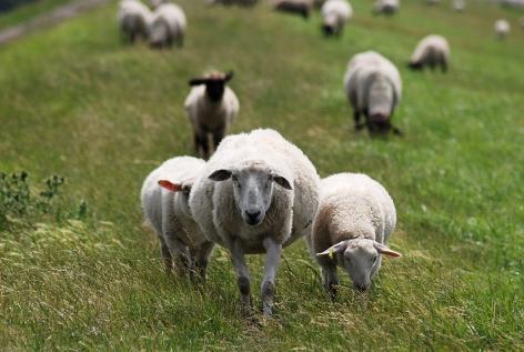 Nordfriesische Lammtage