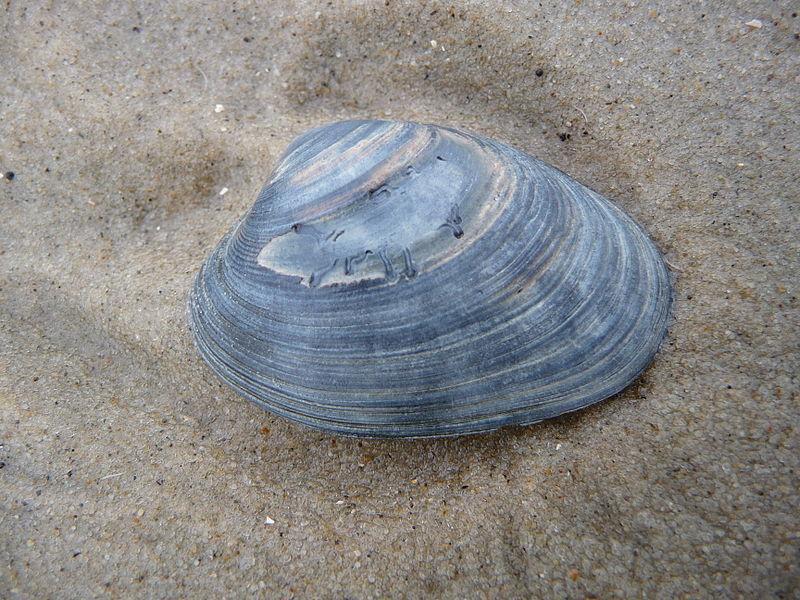 Muschel am Strand - Souvenirs