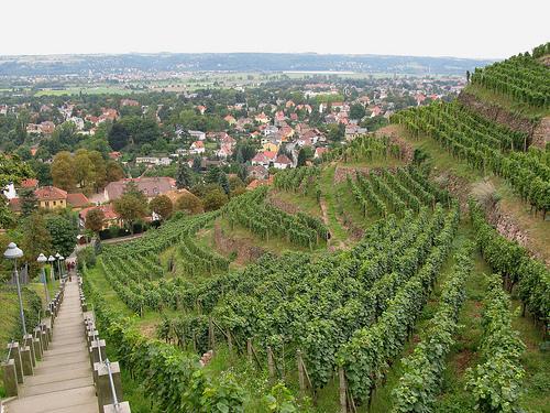 Weinhänge in Radebeul