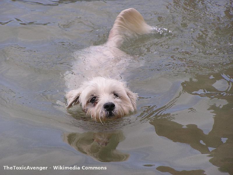Hund im Badesee im Harz