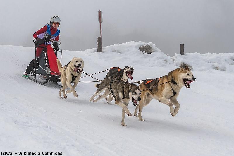Veranstaltungen im Harz - Schlittenhunderennen