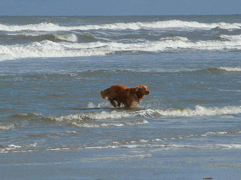 Golden Retriever in der Nordsee