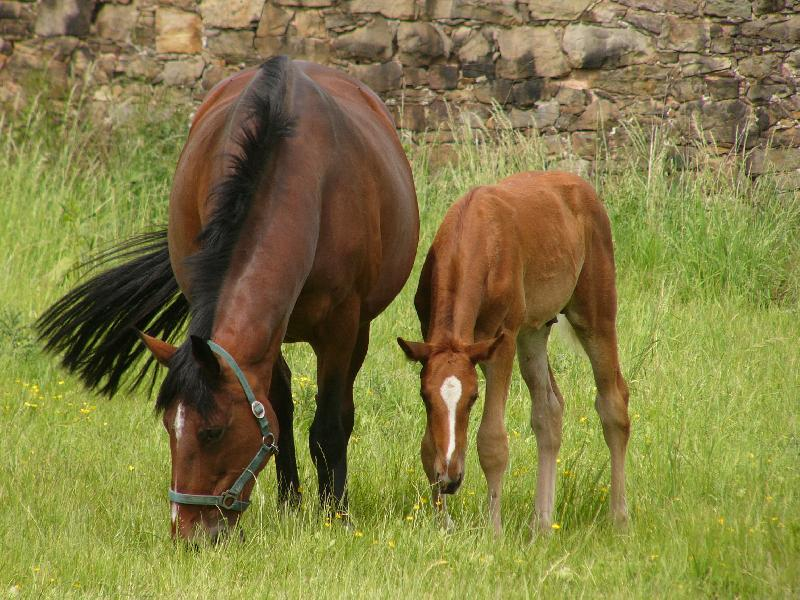 Konie trakeńskie