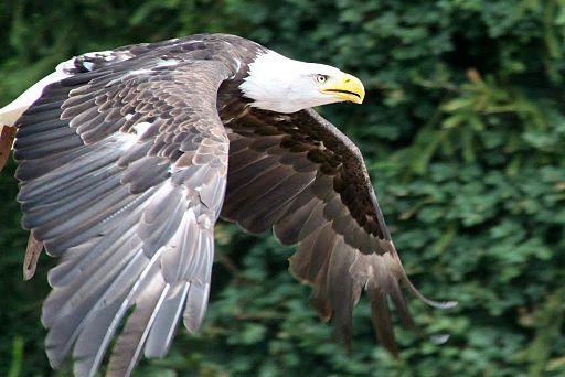 Adler im Vogelpark Steinen