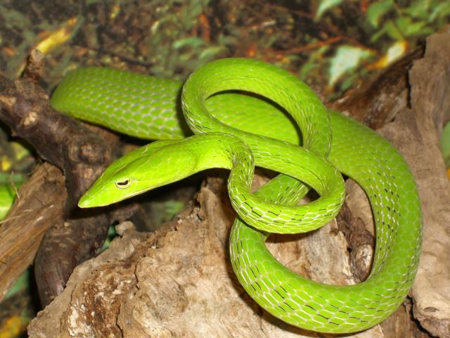 Schlange im Reptilienhaus Schwarzwald
