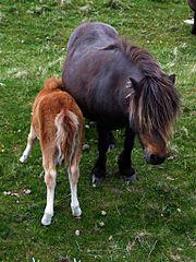 Pony Rides in Sylt