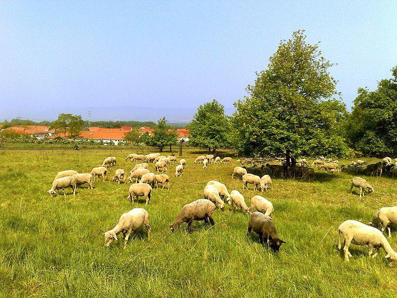 Schafe auf dem Hofsgut