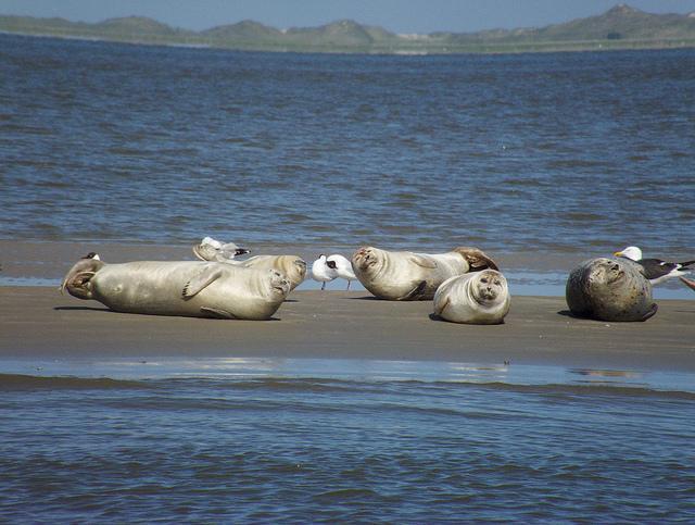 Seehunde vor Wangerooge