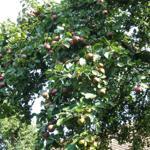 Die alten Apfelbäume geben dem Ferienhaus seinen Namen.