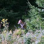 Natu pur- Ausblick aus dem Küchenfenster: Manchmal lässt sich der Fuchs blicken (bleibt aber im Wald hinter dem Gartenzaun)