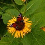 Im Sommer können Sie auf unserer Telekia im Garten hunderte von Schmetterlingen beobachten.